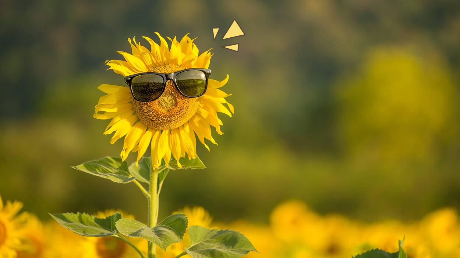 Tips Menanam Bunga Matahari Ketahui Hal Yang Perlu Diperhatikan